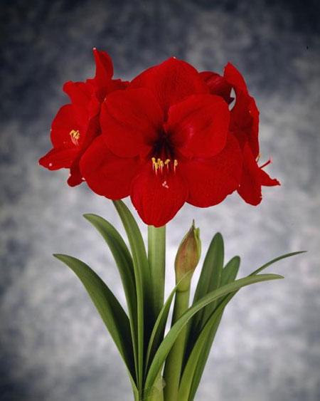 Pr sentation de notre gamme d 39 amaryllis en fleurs coup es for Amaryllis fleurs