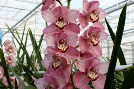 Cymbidium Rose