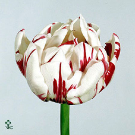 Tulipe Blanche & Rouge