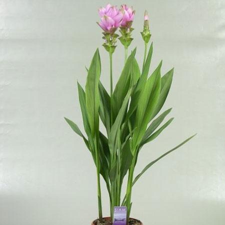 Voici un aper u des autres plantes fleuries que nous proposons for Plante curcuma